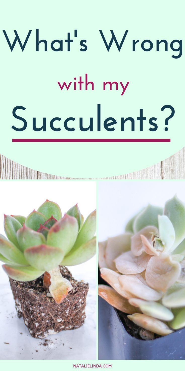 Wrong with My Succulent?! Learn to Diagnose and Resolve Common Succulent Problems Learn what's wrong with your succulents so you can fix the problem and help them thrive! There are a few common obstacles when growing succulents, but learning to identify them quickly can do wonders. This post will show you how!Learn what's wrong with your succu...