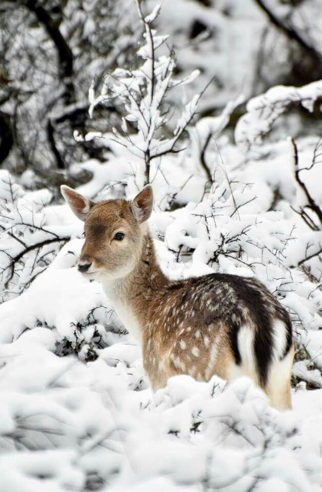 Photo of A Young Fawn alone in the Snow …..