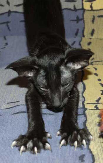 Ее сравнивают с сиамской породой. Действительно, есть такой окрас у ориенталочки. Но, в отличие от сиамки, нет черной маски на мордочке. Да и характер у нашей красавицы более мягкий, ласковый и веселый. Ориентальная кошка была выведена из породы сиамских, от сюда и некоторая схожесть.