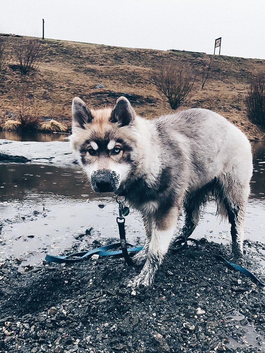 Hunde Facts Zum Sibirischen Husky Teddy Alltag Mit Hund Leben Mit Hund Hundeblog Hundeblogger Osterreich Hunde Tipps Sibirischer Husky Schone Hunde Husky