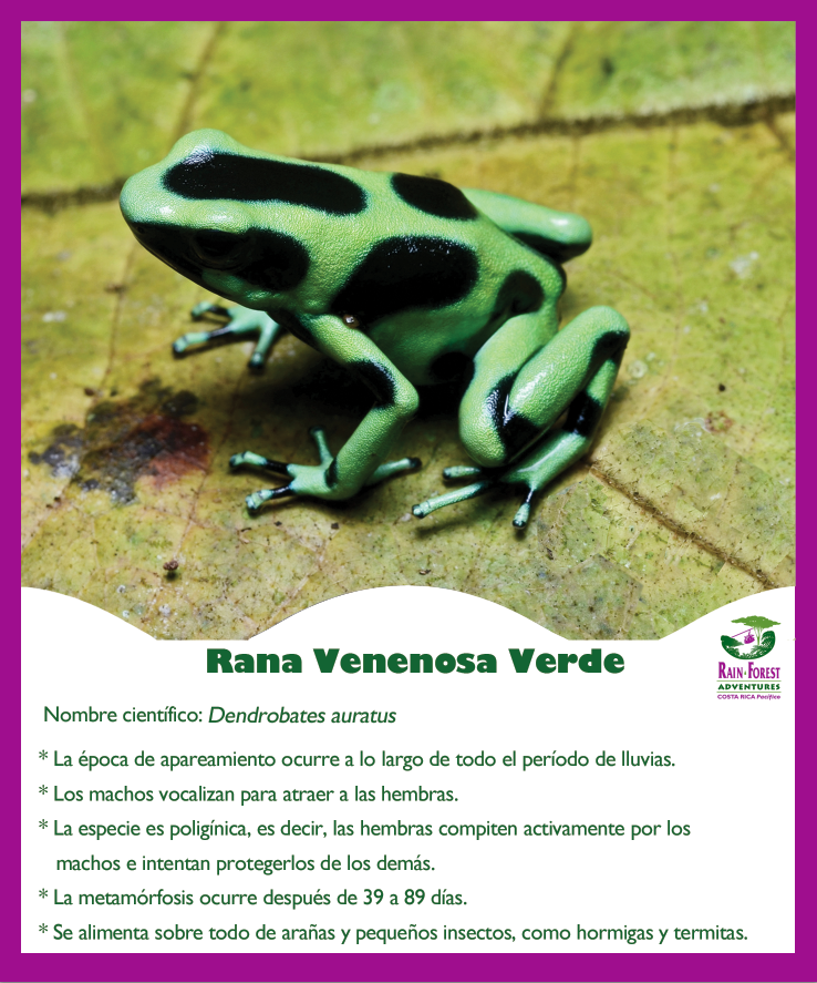 Rana venenosa verde. Real nature, real fun!
