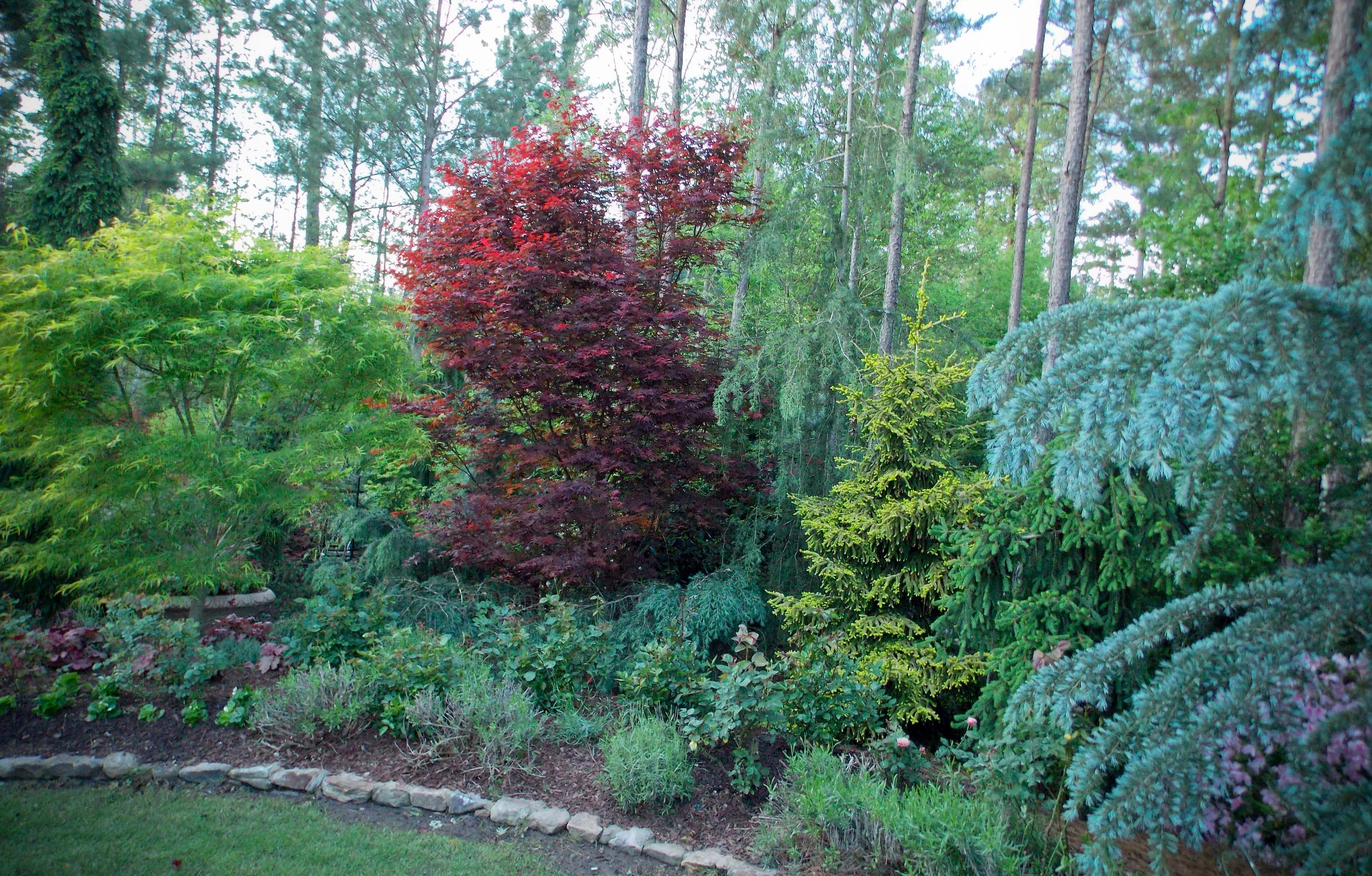 creating spring color and texture with conifers and japanese