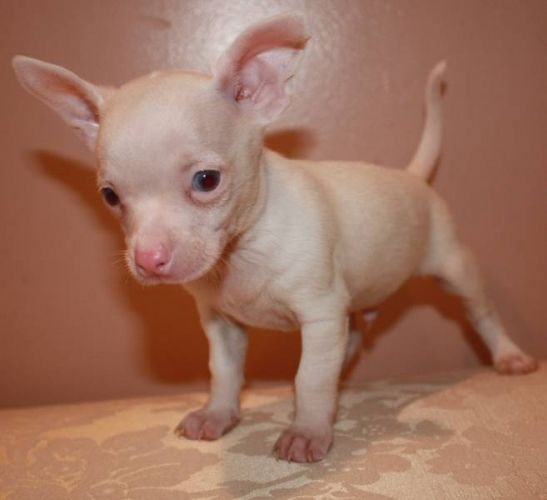 Micro Teacup Chihuahua My Little Puppies Are Ready Micro Teacup