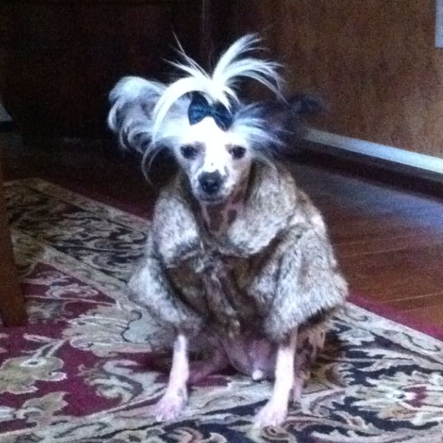 Chinese crested hairless couture