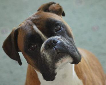 Dogs For Adoption Near Little Rock Ar Petfinder Dog Adoption Homeless Pets Help Homeless Pets