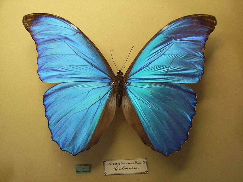 Morpho menelaus tenuilimbata | Tudo Sobre Borboletas