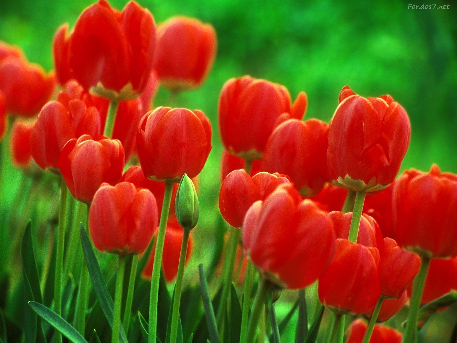 Imagenes De Flores Gratis Imagen En Hd 3 Hd Wallpapers Tulip