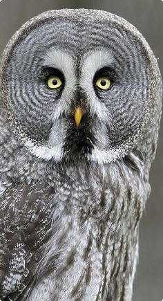 An owls facial disc