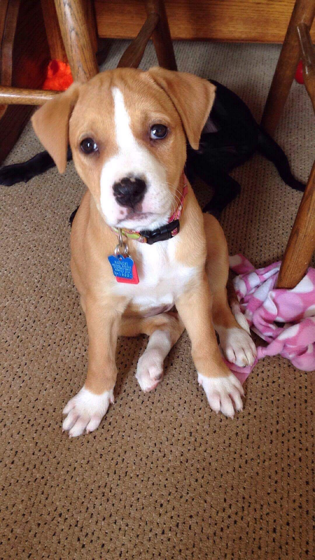 American Staffordshire Terrier Mix Dog For Adoption In Minneapolis