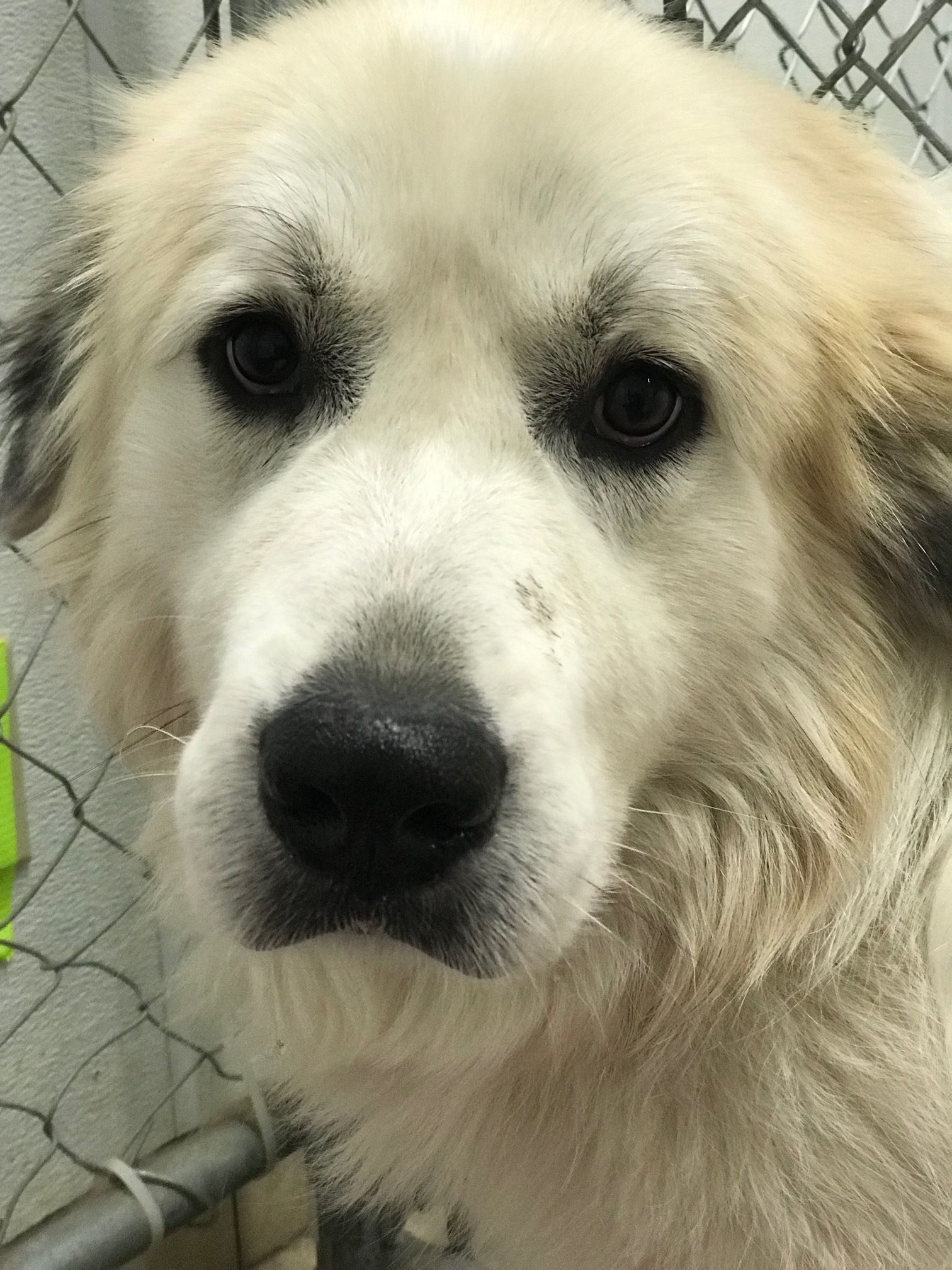 Adopt Beau on Great pyrenees, Great pyrenees dog, Dog