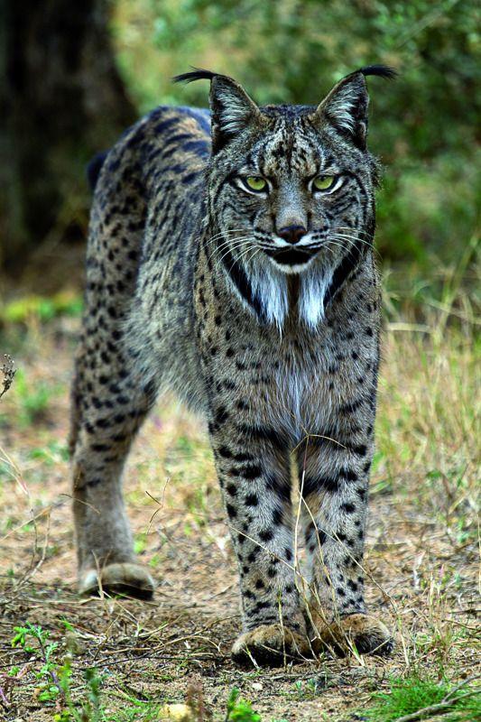 LYNX PARDEL. Iberian lynx, Animals, Serval cats
