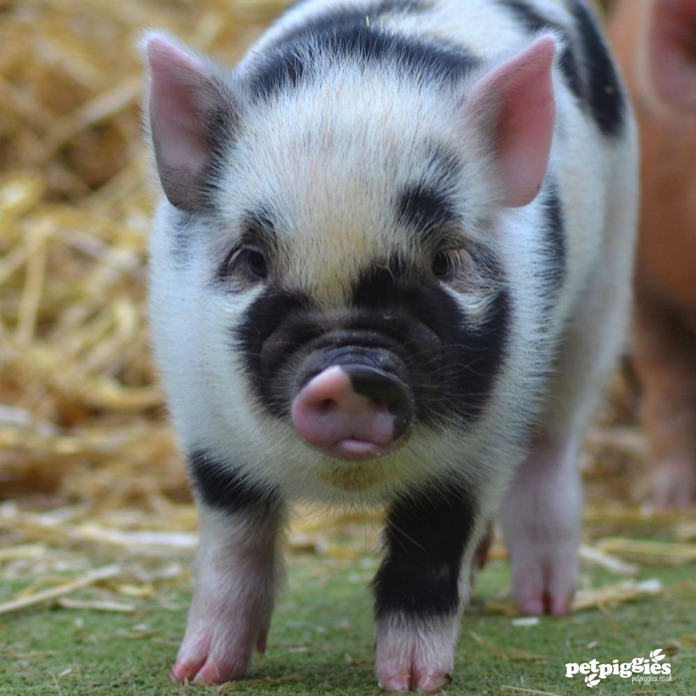 'Piggy Portraits' Piglets never stand still, always on the