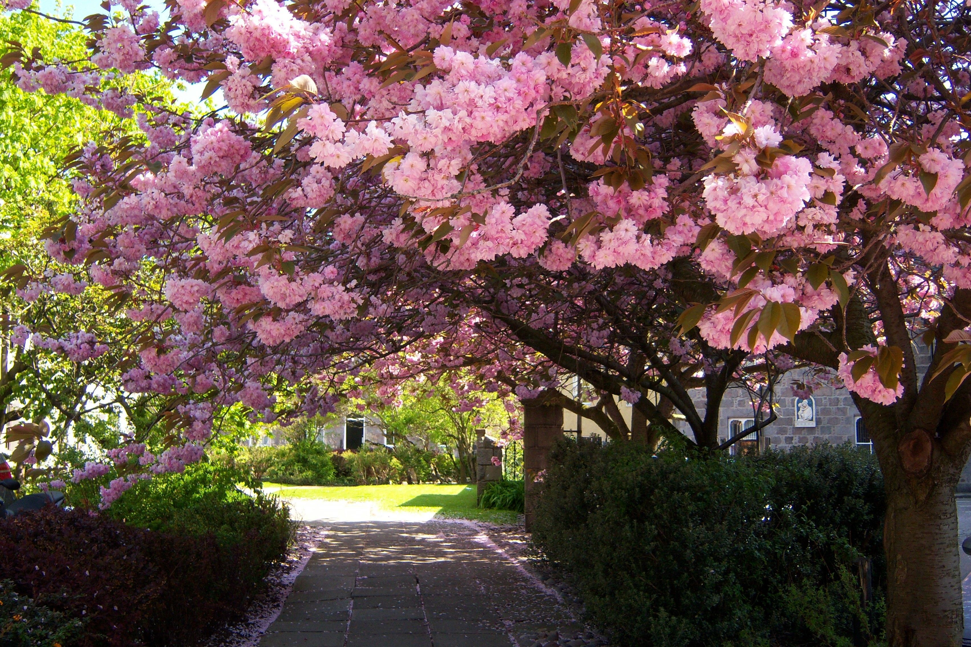 Cherry Trees Cherry Trees In Aberdeen Off Huntly Street Late May Blossom Cherry Blossom Tree Pear Blossom
