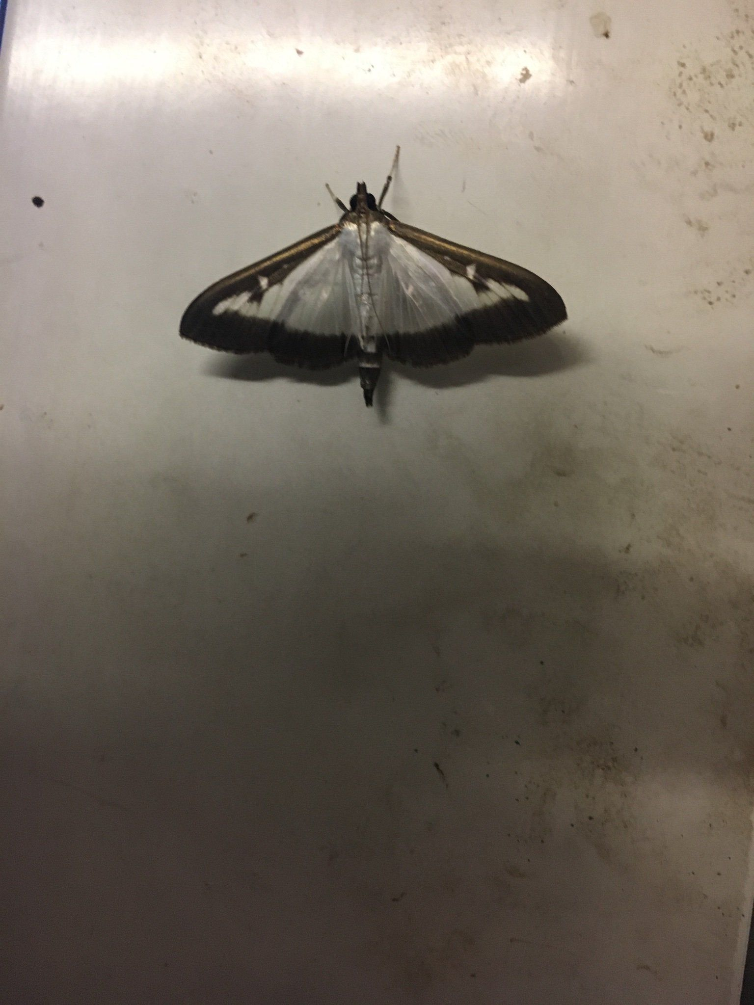 Dominic Couzens On Moth Fly Dorset My House
