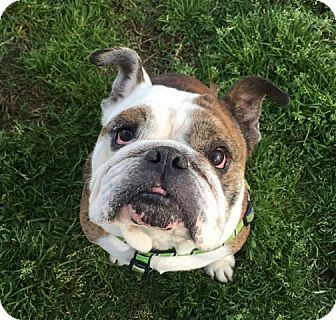 Santa Ana Ca English Bulldog Meet Bruiser A Dog For Adoption