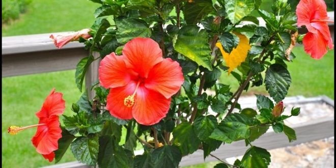 Braided Hibiscus Tree For Sale The Garden Ideas For The House