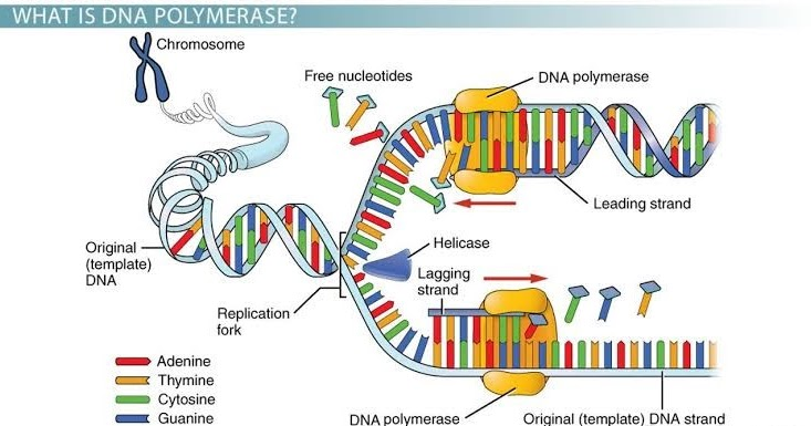 In this pin you will get the knowledge of DNA Replication