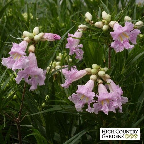 Large growing and cold hardy with big fragrant pink for Hardy flowering trees