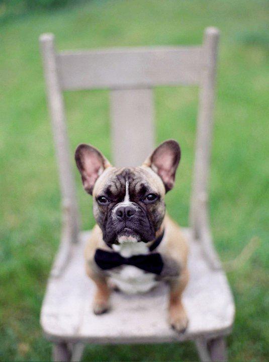 Bernie....Jeniland French Bulldogs..Ohio French bulldog