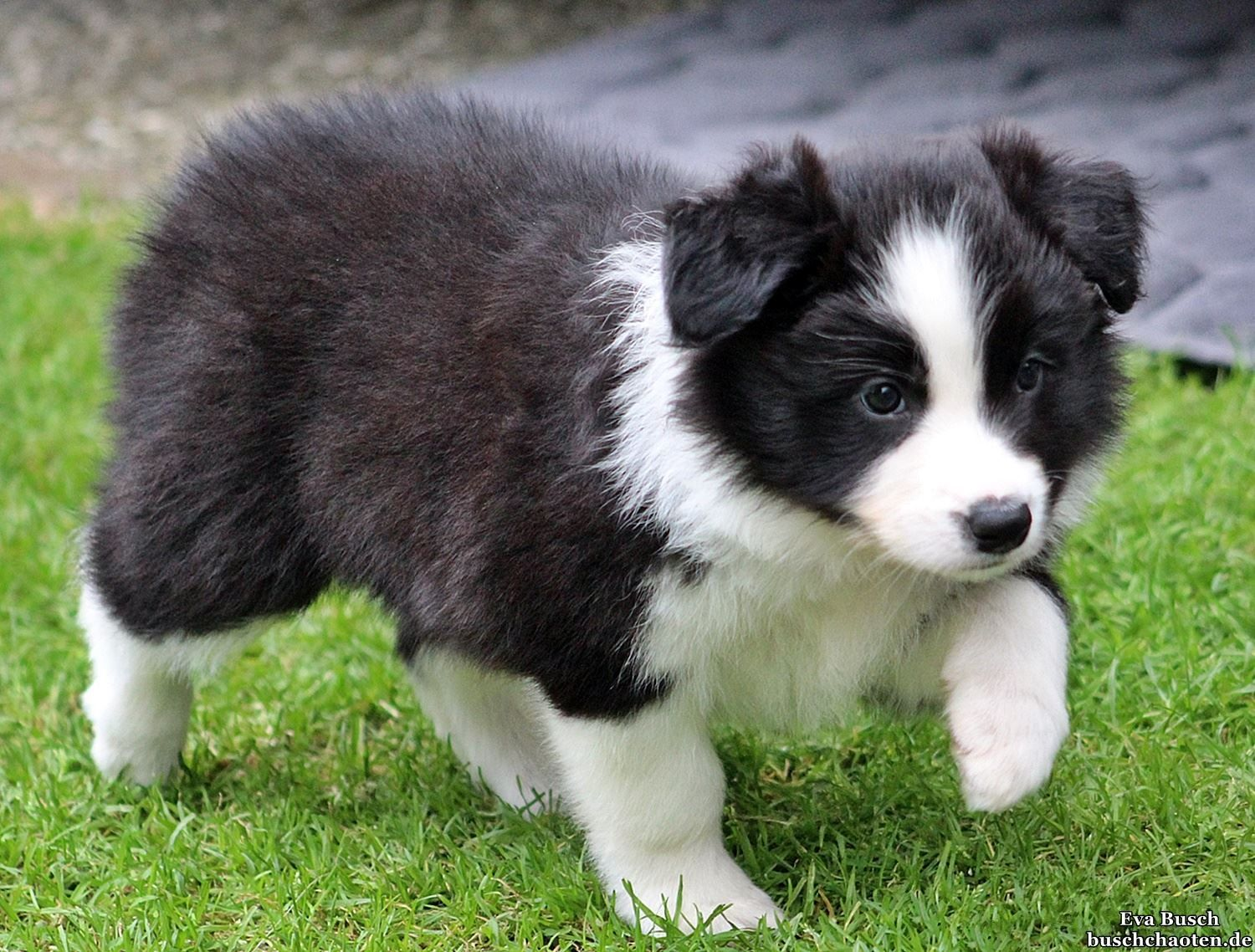 Joni Almost 6 Weeks Old X Border Collie Puppies Cute Dogs Cute