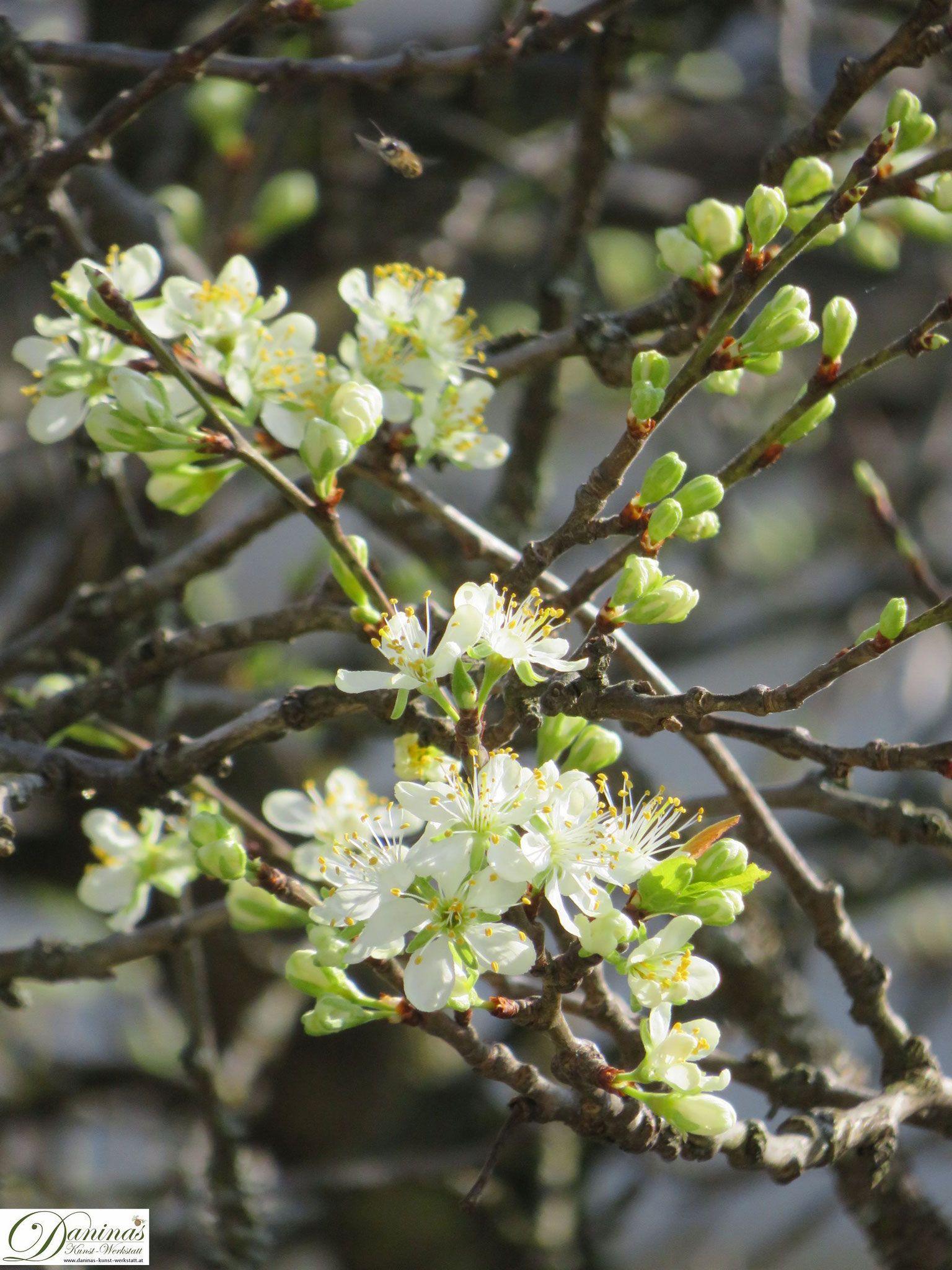 Bluhende Obstbaume Straucher In 2020 Pflaumenbaum Fruhlingsgarten Fruhling