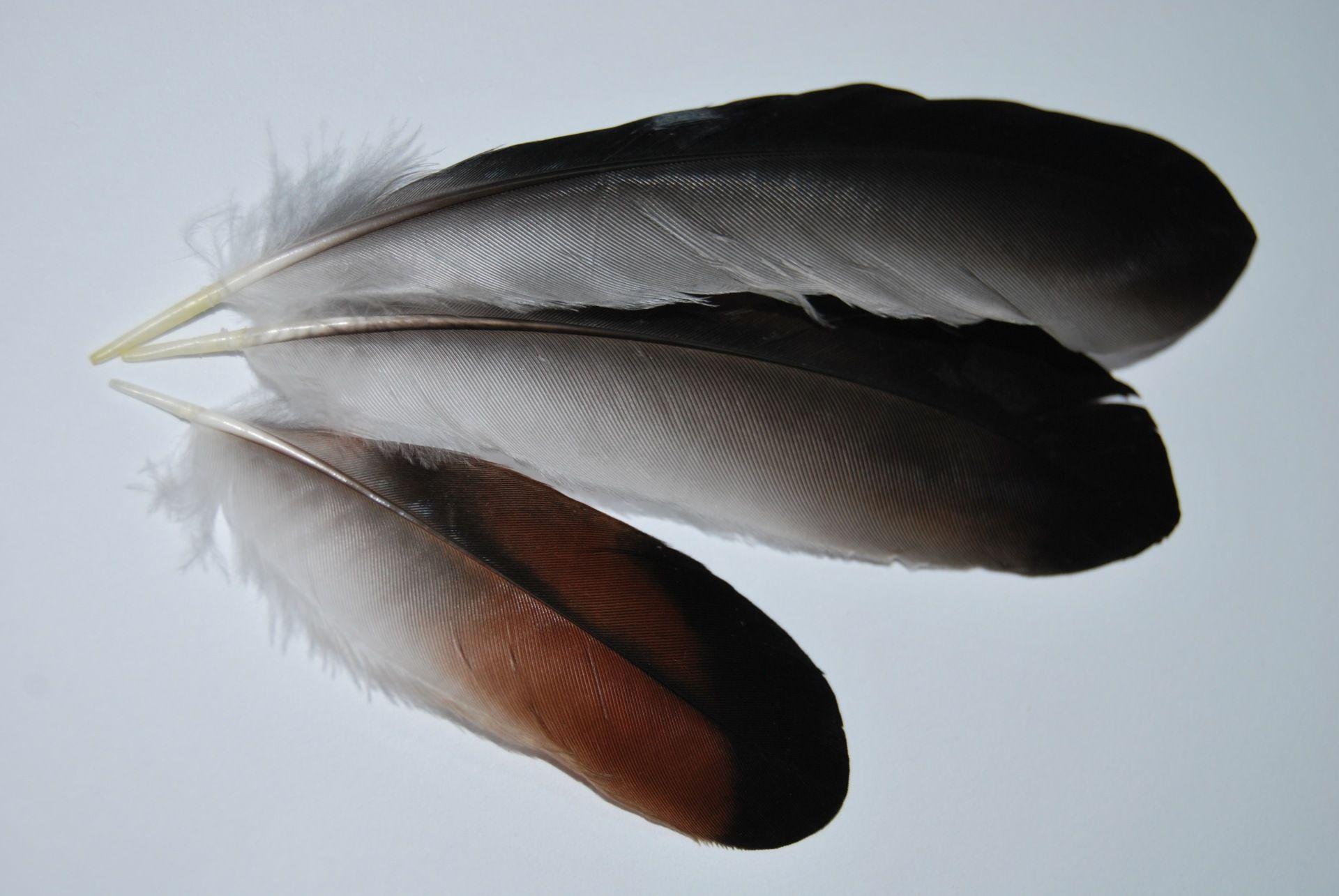 plumes-de-geai-des-chenes