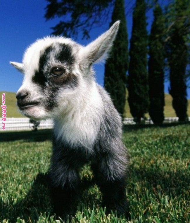 Teacup Goat Cute Animals Cute Goats Cute Baby Animals
