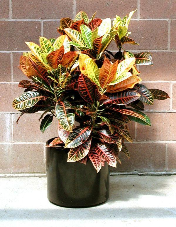 Zimmerpflanzen Für Sonnige Standorte kroton pflanze heller sonniger standort regelmäßig gießen