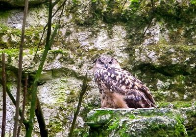 Hi you Pokemon seekers, leave us alone, please! Eagle owl hooting in the woods. J-M. Martikainen /yle.fi