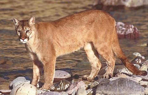 15 Amazing Animals That Start With The Letter E With Images Mountain Lion Mountain Lion Pictures Felidae