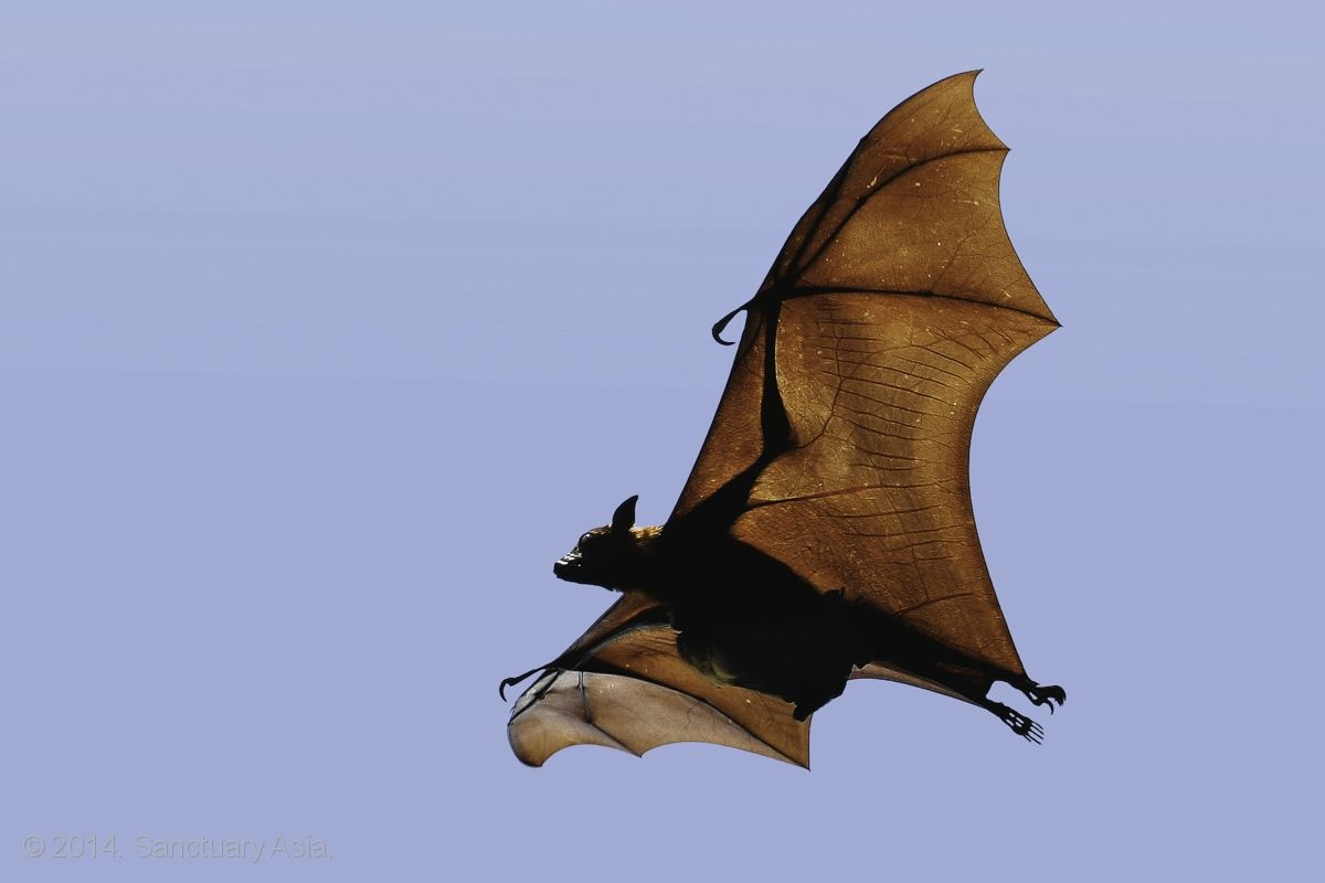Indian Flying Fox by Saurabh R. Desai