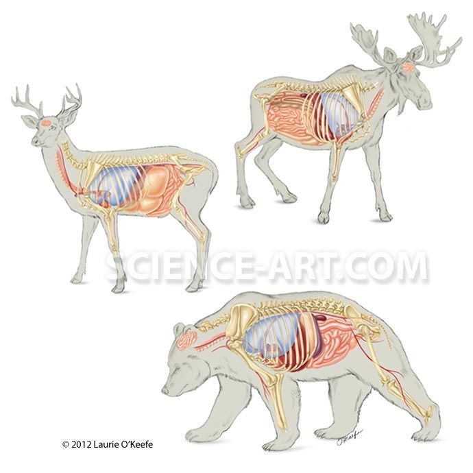 Image Result For Moose Anatomy Animal Reference Pinterest