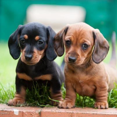 Yulia Titovets Fourlittlepaws Com Dachshund Puppies Daschund
