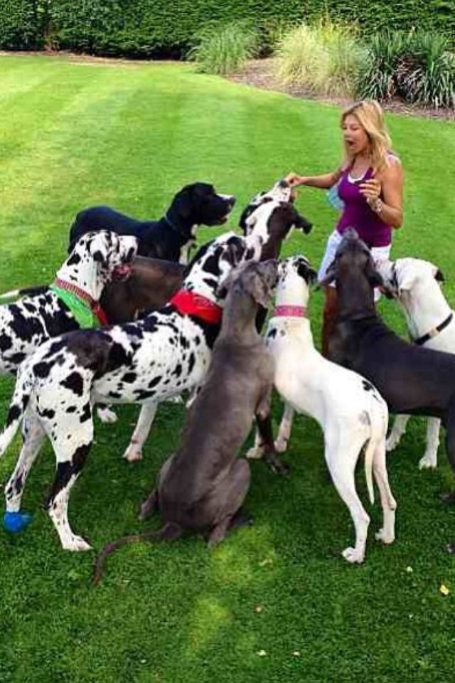 I Would Be In Heaven Great Dane Great Dane Beagle Mix