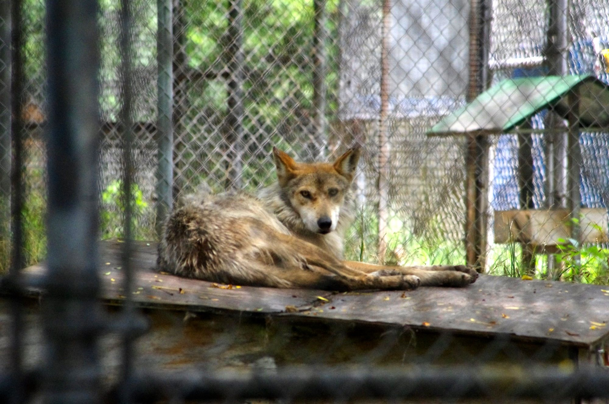 This is Carolita, one of our Mexican Wolves at the center
