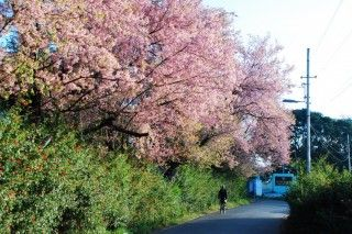 A Man Rides A Bicycle Under A Cherry Tree At Shillong Shillong Cherry Blossom Festival Northeast India