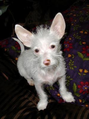 Maltese Chihuahua Mix Puppy Chihuahua Mix Puppies Chihuahua Mix