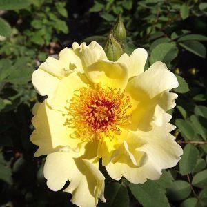 Róża AICHA /  Rosa spinosissima AICHA Grupa róż parkowych - Szkółka Roślin Ozdobnych DAMMERA