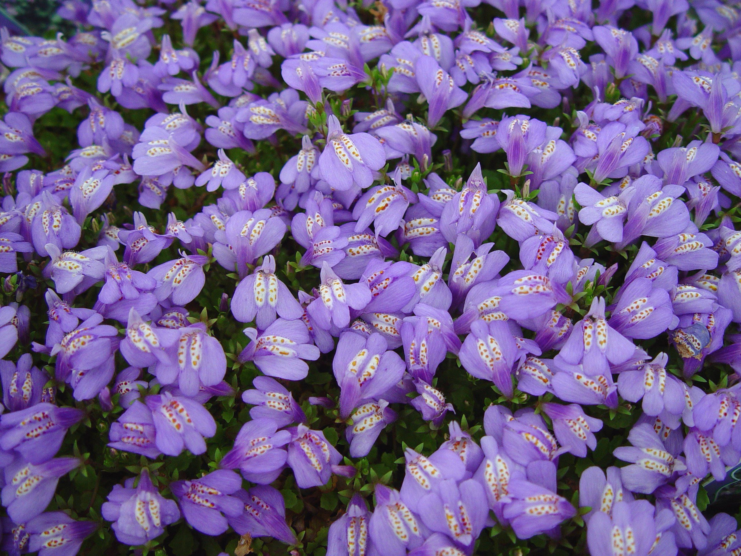 Roses Mazus Reptan Creeping Mazus Deer Flowers And