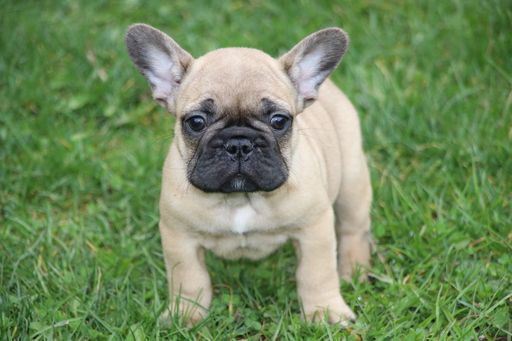 French Bulldog Puppy For Sale In Marysville Wa Adn 26171 On
