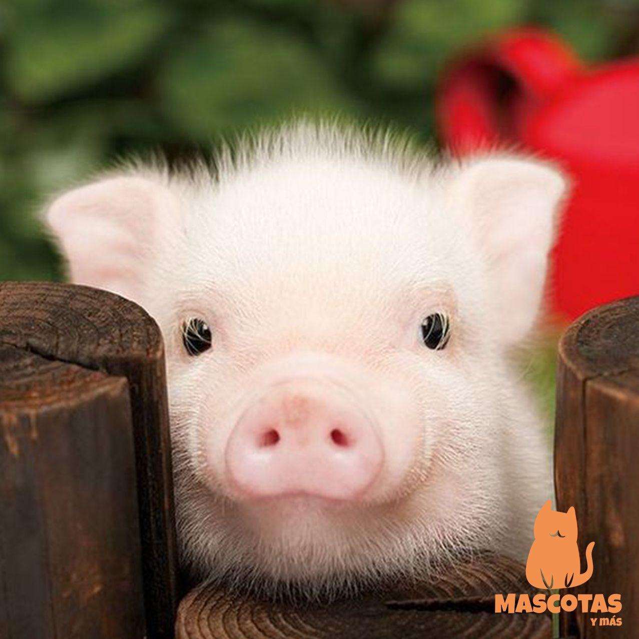 Pin de Tatiana Perez en Animales Cerdos mascotas