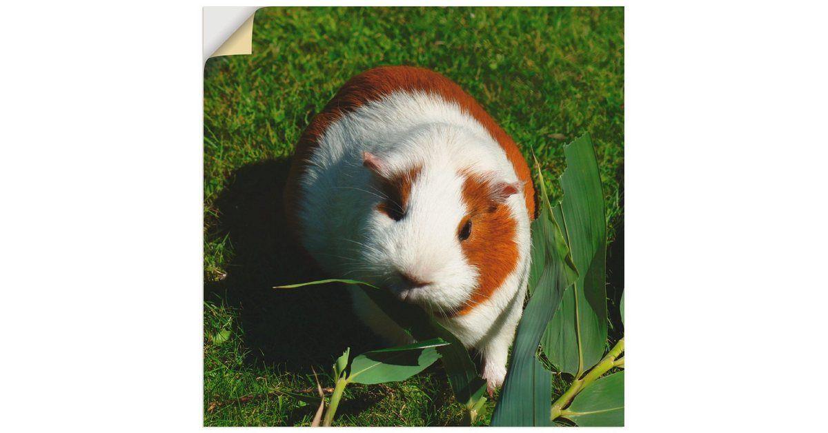 Wandfolie »Kattobello Orange weißes Meerschweinchen