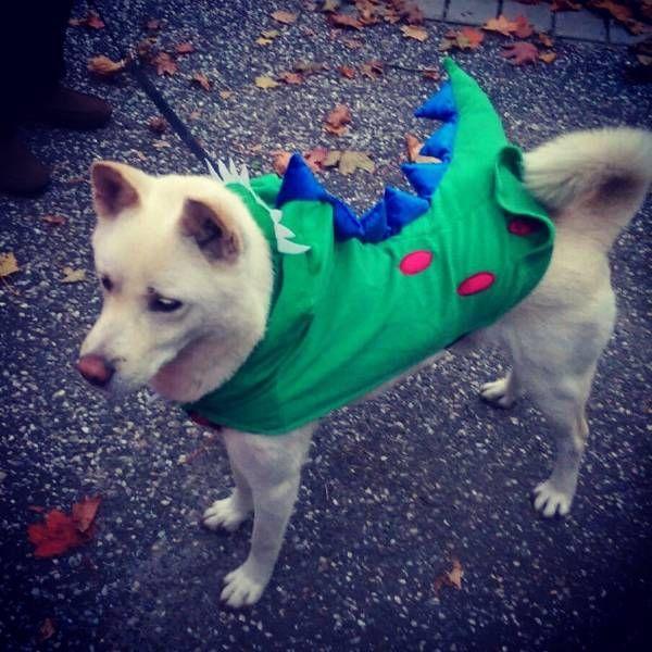 Lost Dog Korean Jindo In Islip Terrace Ny Pet Name Aspen Id 94451 Gender Male Breed Korean Jindo Color White Color 2 Lost Dogs Ny Losin