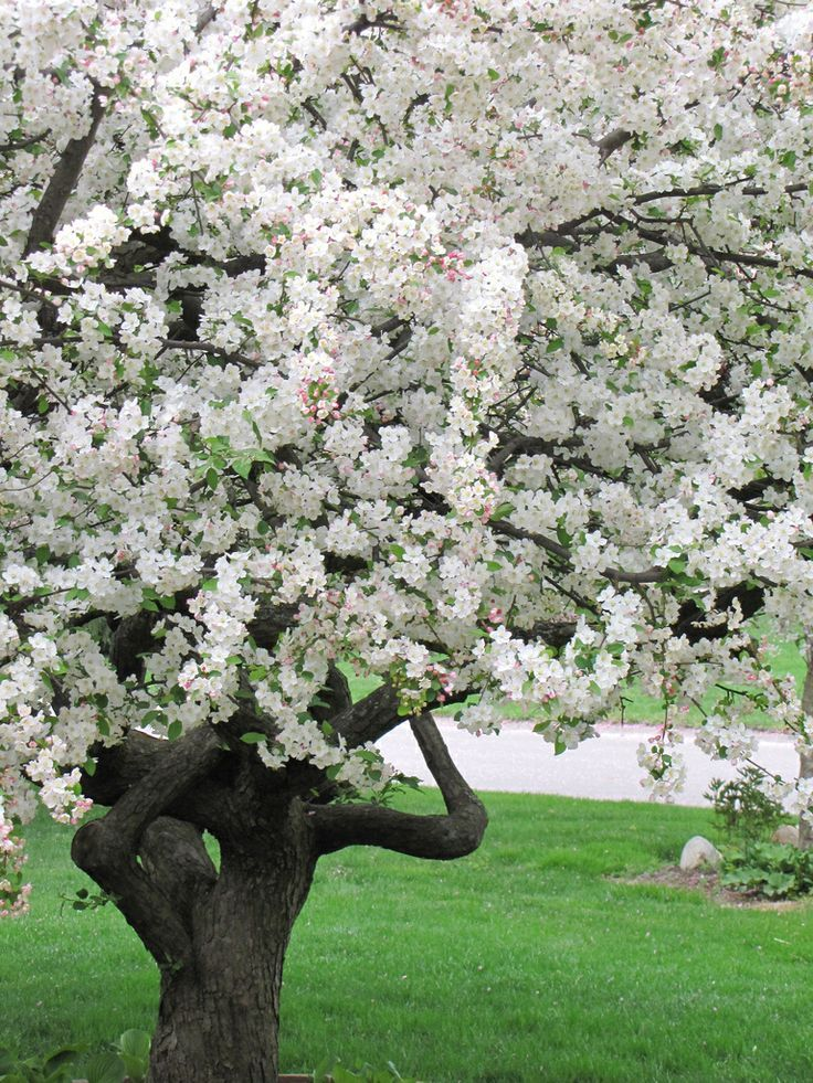 apple blossom tree higher power pinterest blossom trees and flowers. Black Bedroom Furniture Sets. Home Design Ideas