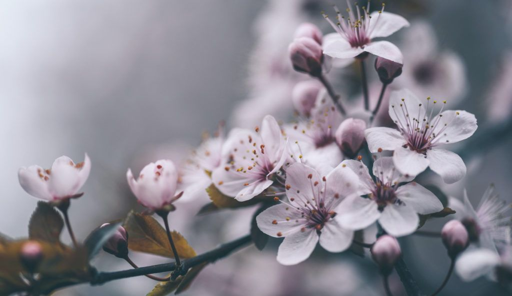 10 Interesting Facts About Cherry Blossoms You Didn T Know Farmers Almanac Cherry Blossom Quotes Cherry Blossom Tree Blossom Trees