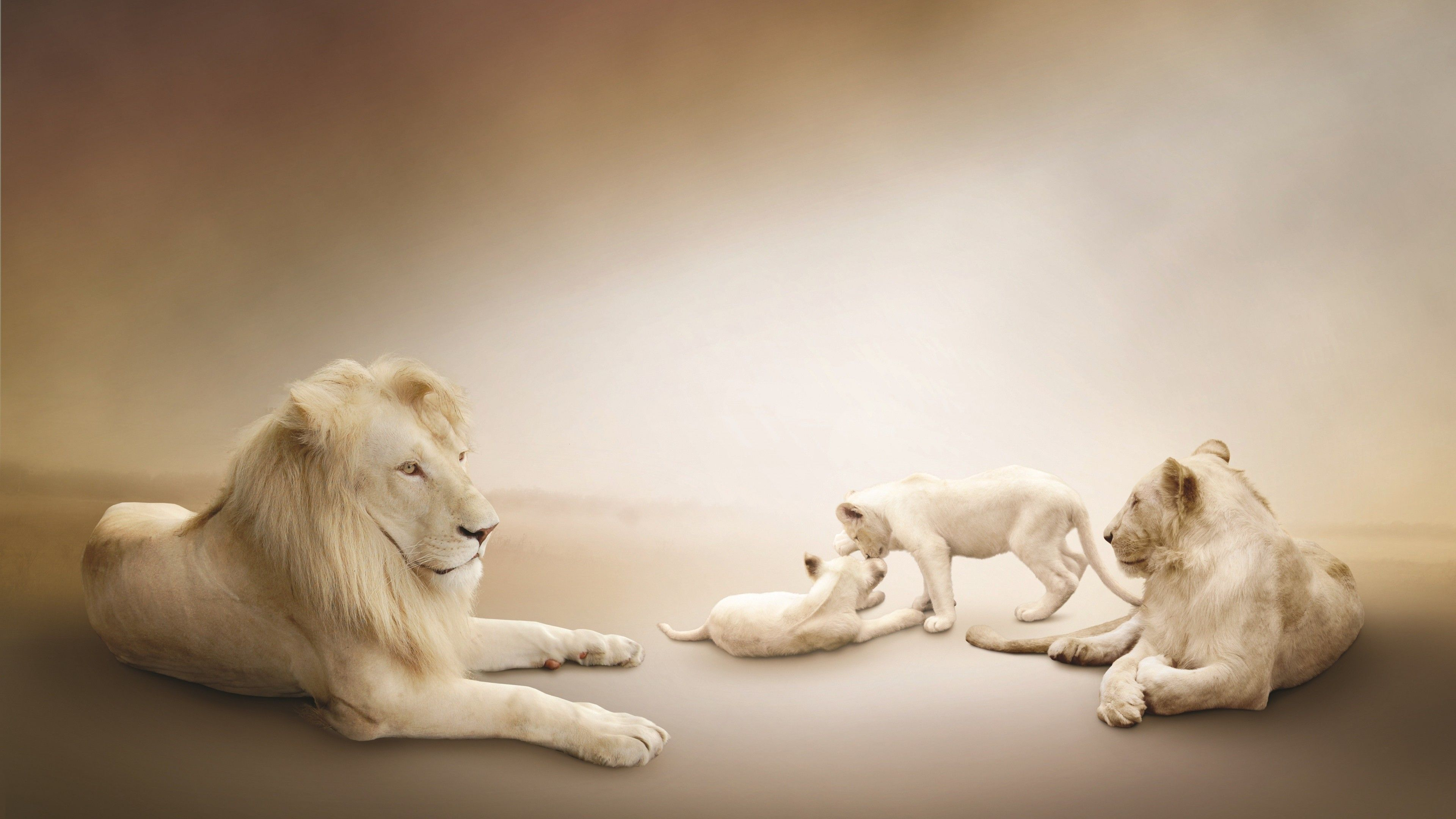 Animals White Lion Wallpapers White Lion White Lion Images Lion Pictures