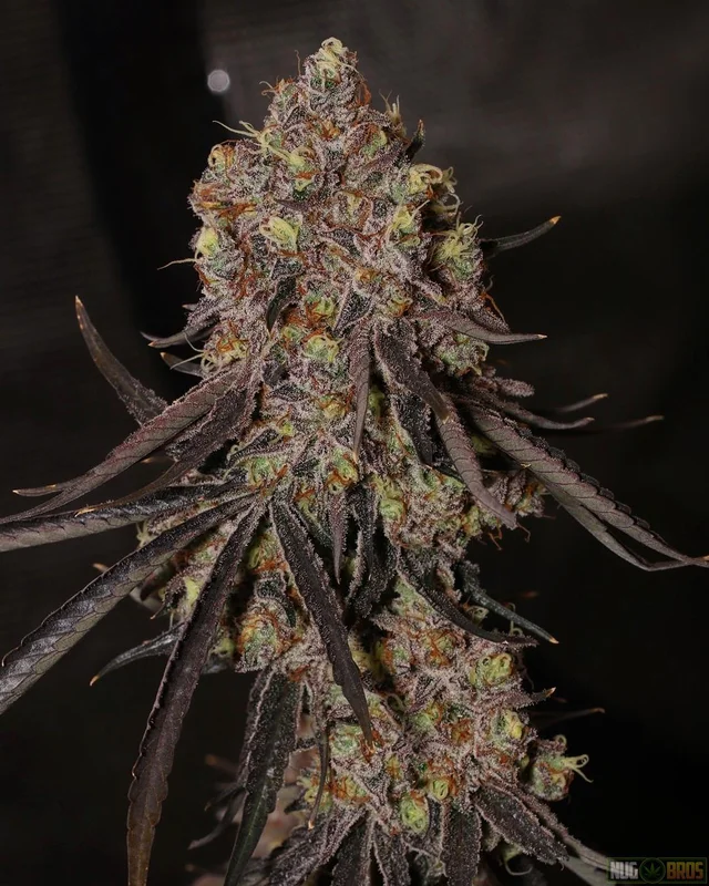 Pin On Cannabis Flowers