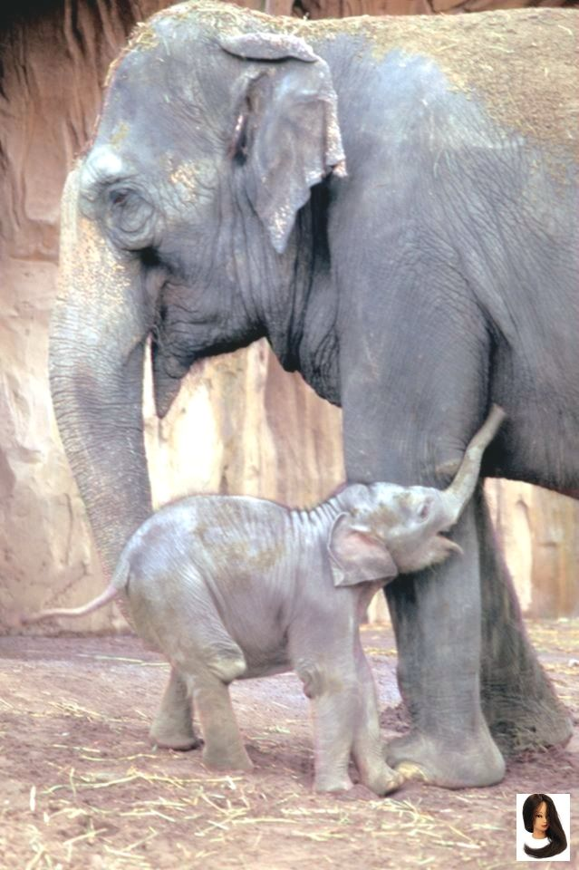#Asian #asian mom and baby #beauty #calf #Elephant The beauty of an Asian Elephant and her new calf        The beauty of an Asian Elephant and her new calf