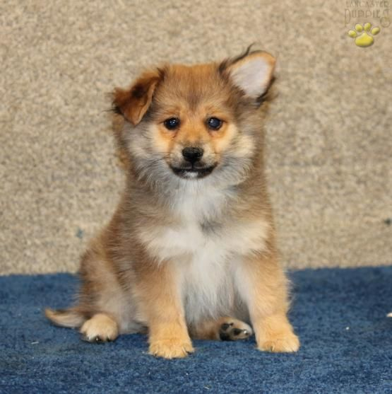 Yankee Pomeranian Mix Puppy for Sale in Paradise, PA