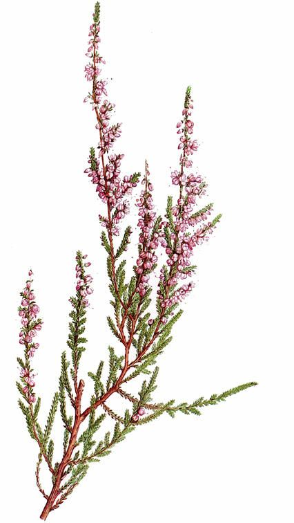 Røsslyng (Calluna vulgaris)